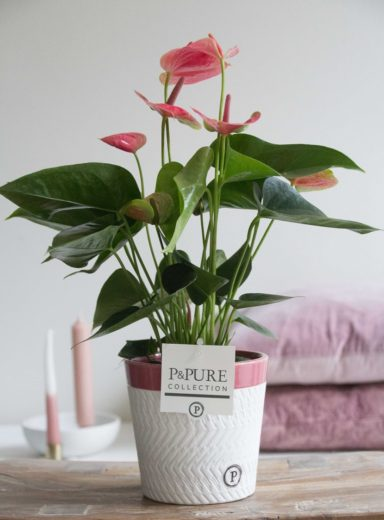 12.151.338-DM-Anthurium-p12-pink-in-Valerie-ceramics-pink