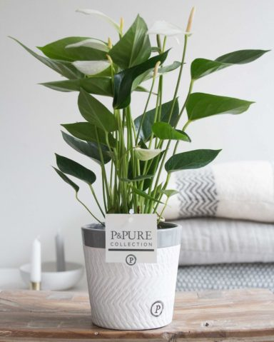 12.169.339-DM-Anthurium-p12-white-in-Valerie-ceramics-grey