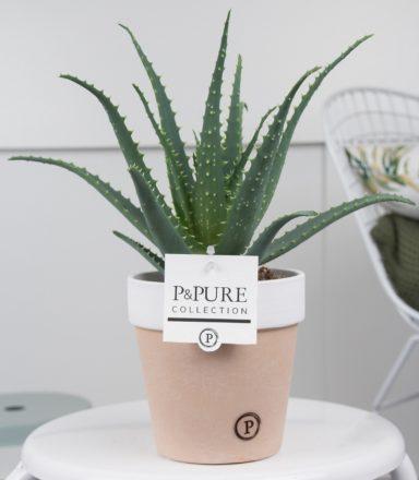 AA-IN-PC17-63-Aloe-Aborescens-p12-in-Pure-Terra-Cotta-II
