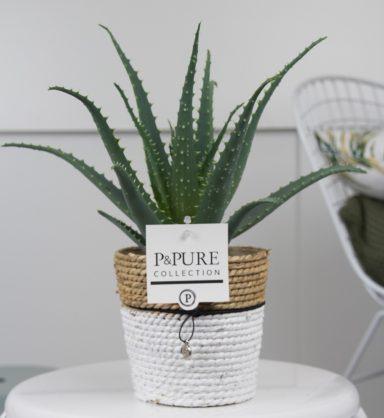 AA-IN-PC17-65-Aloe-Vera-in-Pure-Basket-III