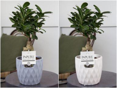 F12DPB-Ficus-Ginseng-p12-in-Bijoux-2-ceramics-ass.-2