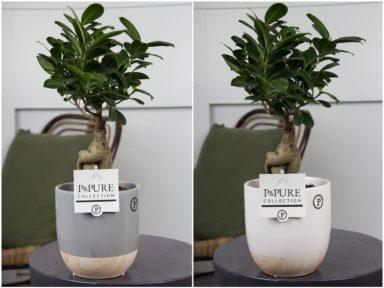 F12DPEM-Ficus-Ginseng-p12-in-Emily-cer.-ass