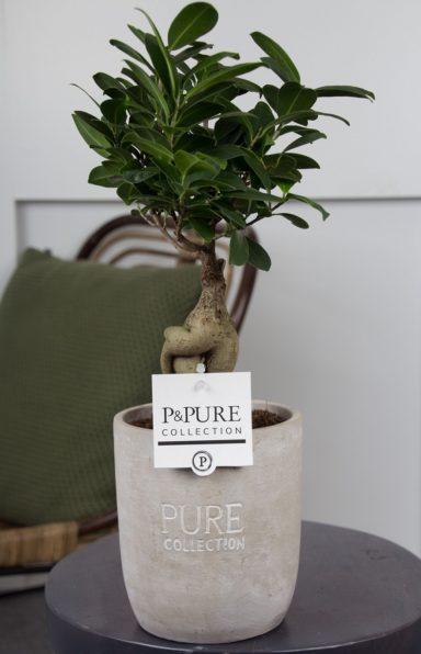 F12DPJA-Ficus-Ginseng-p12-in-Jade-ceramics-assorti