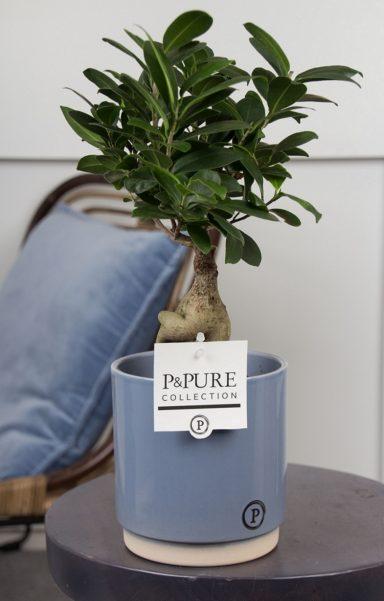 F12DPJUB-Ficus-Ginseng-p12-in-Julia-ceramics-blue
