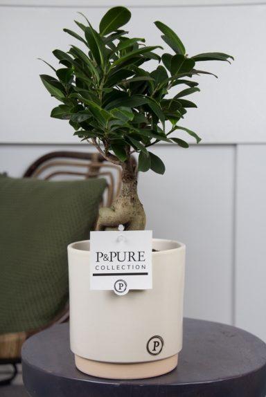F12DPJUC-Ficus-Ginseng-p12-in-Julia-ceramics-creme