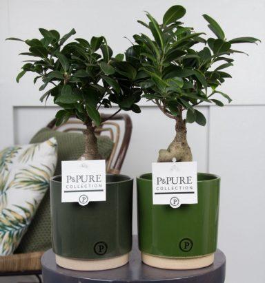 F12DPJUG.-Ficus-Ginseng-p12-in-Julia-green-ass_2