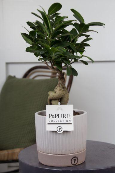 F12DPLUG-Ficus-Ginseng-p12-in-Lucille-ceramics-grey