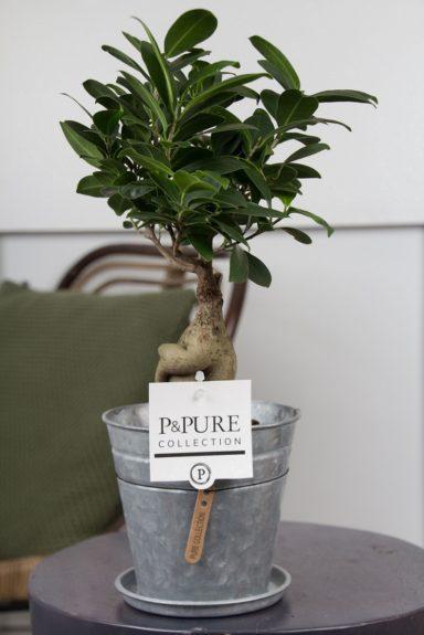F12DPLZ-Ficus-Ginseng-p12-in-zinc-pot-Louise-II