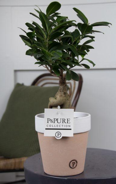 F12DPTC2-Ficus-Ginseng-p12-in-Terra-Cotta-II