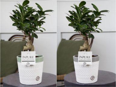 F12DPV-Ficus-Ginseng-p12-in-Valerie-ceramics-ass.-2