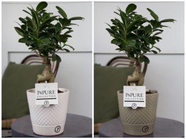 F12DPX-Ficus-Ginseng-p12-in-Expression-ceramics-assorti