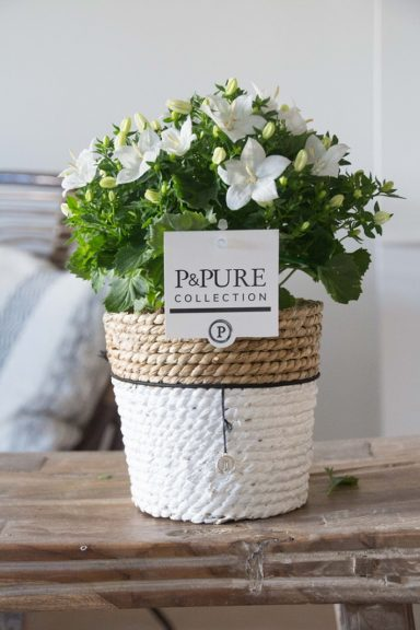 L003-0900-Campanula-p11-Atlanta-in-Pure-Basket-IV