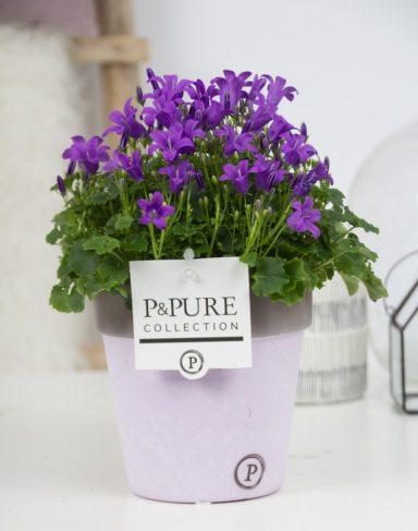 L008-0300-Campanula-p11-Porto-in-Pure-Clay-II-lavender