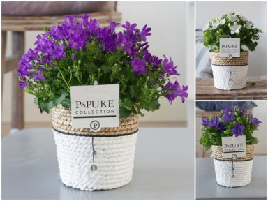 L173-0900-Campanula-p11-mix-in-Pure-Basket-IV