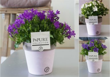 L187-0300-Campanula-p11-mix-in-Pure-Clay-II-lavender