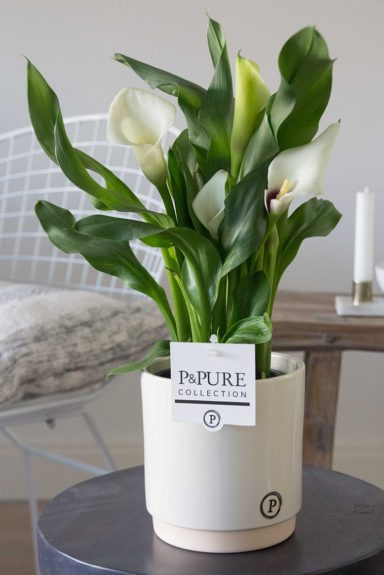 PC02-402-Zantedeschia-p12-white-in-Julia-ceramics-creme
