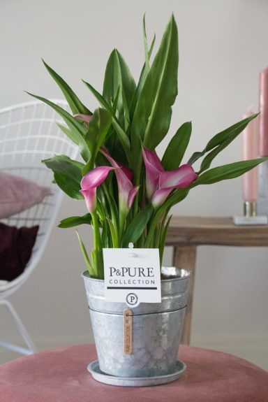 PC02-409-Zantedeschia-p12-pink-in-zinc-pot-Louise-2