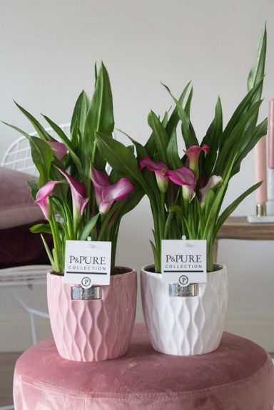 PC02-410-Zantedeschia-p12-pink-in-Bijoux-2-ceramics-pink