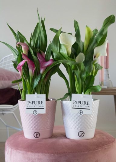 PC0213-Zantedeschia-p12-pink-in-Expression-ceramics-white_grey