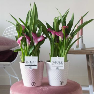 PC02-413-Zantedeschia-p12-pink-in-Expression-ceramics