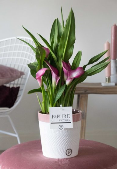 PC02-415-Zantedeschia-p12-pink-in-Clay-ceramics-2-reddish