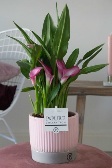 PC02-417-Zantedeschia-p12-pink-in-Lucille-cer.-pink
