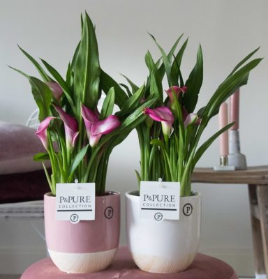 PC02-418-Zantedeschia-p12-in-Emily-ceramics