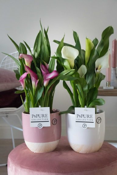 PC02-418-Zantedeschia-p12-pink_white-in-Emily-ceramics-pink