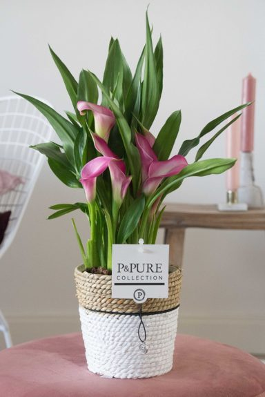 PC02-420-Zantedeschia-p12-pink-in-Pure-Basket-3
