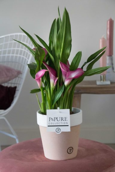 PC02-421-Zantedeschia-p12-pink-in-Pure-Terra-Cotta