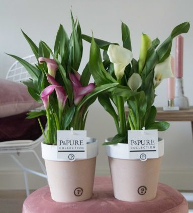 PC02-421-Zantedeschia-p12-pink_white-in-Pure-Terra-Cotta-2