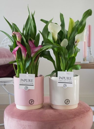 PC02-425-Zantedeschia-p12-mix-in-Julia-ceramics