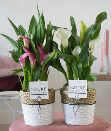 PC0226-Zantedeschia-p12-pink-in-Pure-Basket