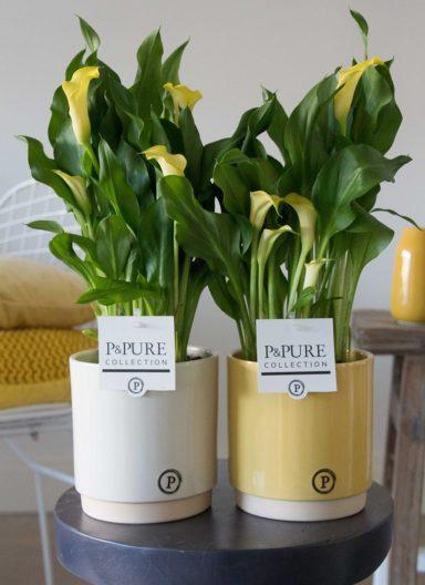 PC02-431-Zantedeschia-p12-in-Julia-ceramics-yellow