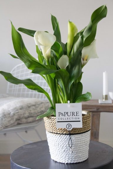 PC0243-Zantedeschia-p12-white-in-Pure-Basket-3