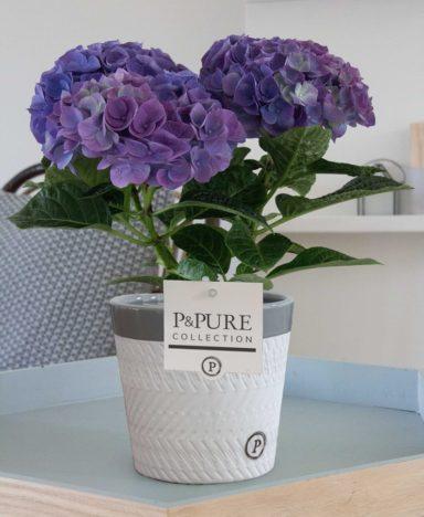 PC12-002-Hydrangea-p12-blue-in-Valerie-ceramics-grey