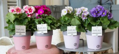 PC12-183-Primula-p12-mix-in-Pure-Clay-II-reddish_lavender