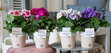 PC12-184-Primula-p12-mix-in-Terra-Cotta-II