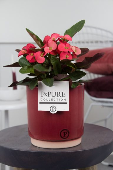 PC17-008-Euphorbia-p12-Miliiana-Rosso-in-Julia-cer.-red