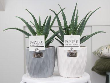 PC17-127-Aloe-Aborescens-p12-in-Bijoux-II-cer.-ass