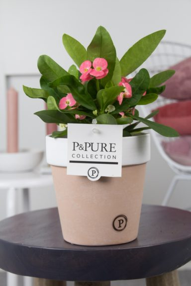 RO-IN-PC17-69-Euphorbia-Miliiana-Rosata-p12-in-Pure-Terra-Cotta-II