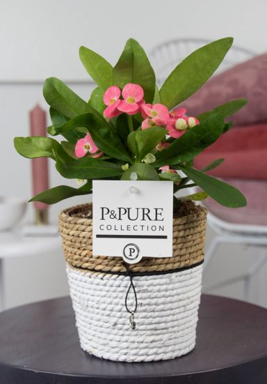 RO-IN-PC17-71-Euphorbia-Milii-Miliiana-Rosata-p12-in-Pure-Basket-III