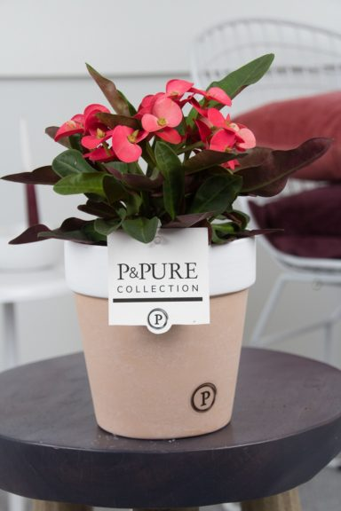 ROS-PC17-66-Euphorbia-Miliiana-Rosso-p12-in-Pure-Terra-Cotta-II