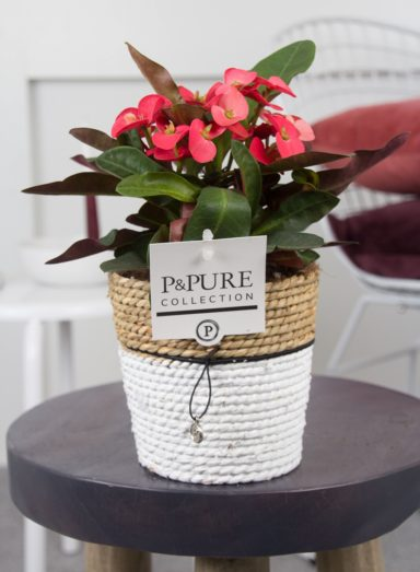 ROS-PC17-72-Euphorbia-Milii-Milliana-Rosso-p12-in-Pure-Basket-III