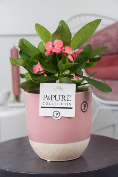 ROSAEMILYROZE-Euphorbia-Miliiana-Rosata-in-Emily-cer.-pink