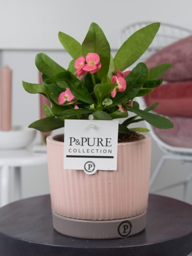 ROSATALUCILLE-Euphorbia-Miliiana-Rosata-in-Lucille-ceramics-pink