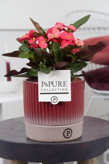ROSSOLUCILLE-Euphorbia-Miliiana-Rosso-in-Lucille-ceramics-red