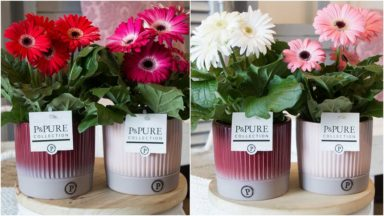 T12-PC05-002-Gerbera-p12-mix-in-Lucille-cer.