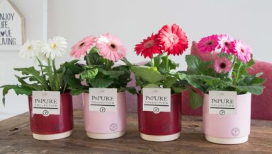 T12-PC05-005-Gerbera-p12-mix-in-Julia-ceramics-pink_bordeaux-3