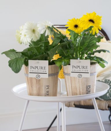 T12-PC05-013-Gerbera-p12-mix-geel_wit-in-Pure-Wood-pot-IV